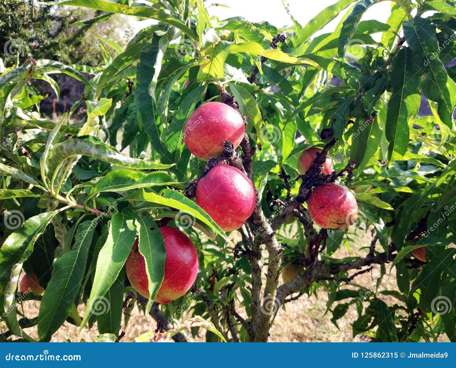 Jaskrawe czerwone nektaryny na gałąź drzewo