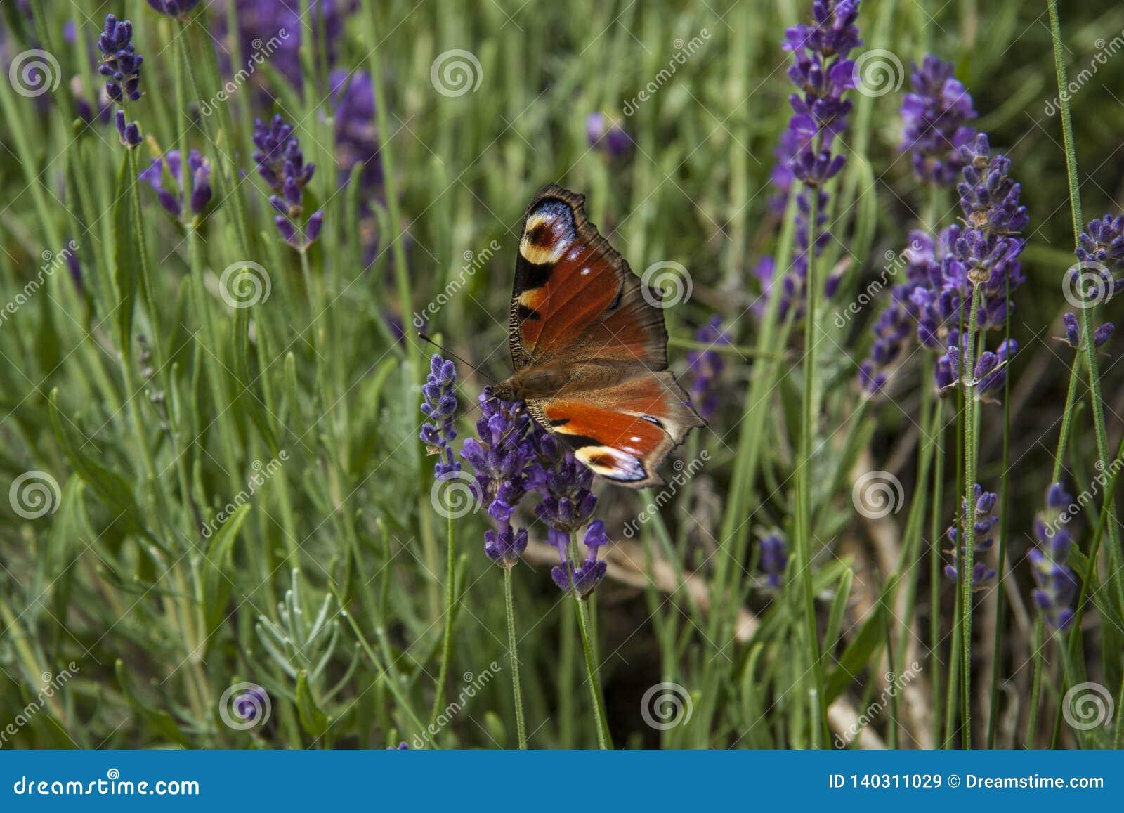 Jaskrawego lata motyli pawi oko na delikatnych purpurowych kwiatach lawenda