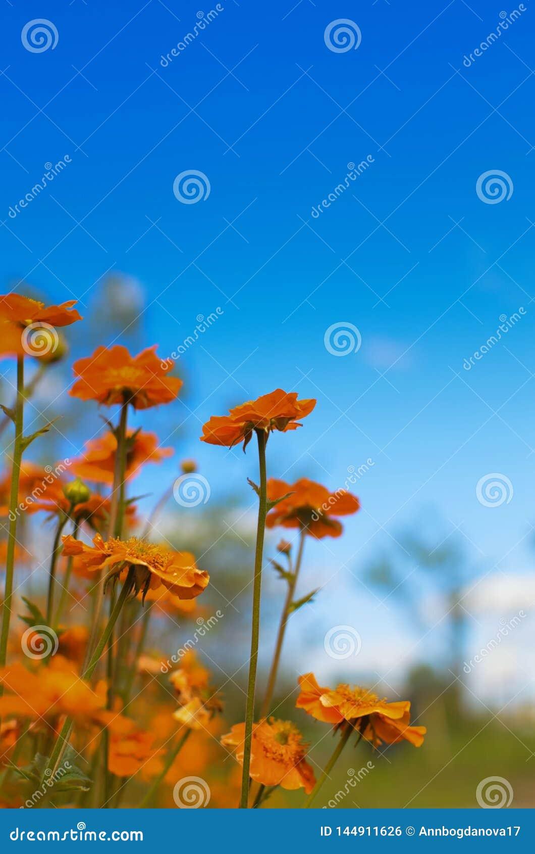 Jaskrawi czerwoni kwiaty Geum coccineum Borisii przeciw niebu