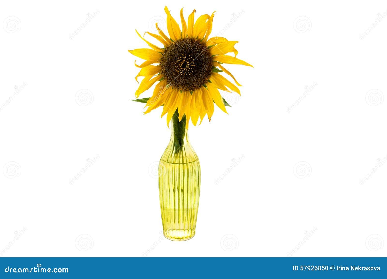 Jaskrawy żółty kwiat słonecznik w szklanej wazie odizolowywał przód