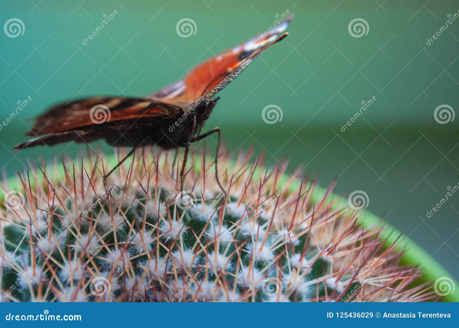 Jaskrawy Admiral motyl na zielonym kaktusie