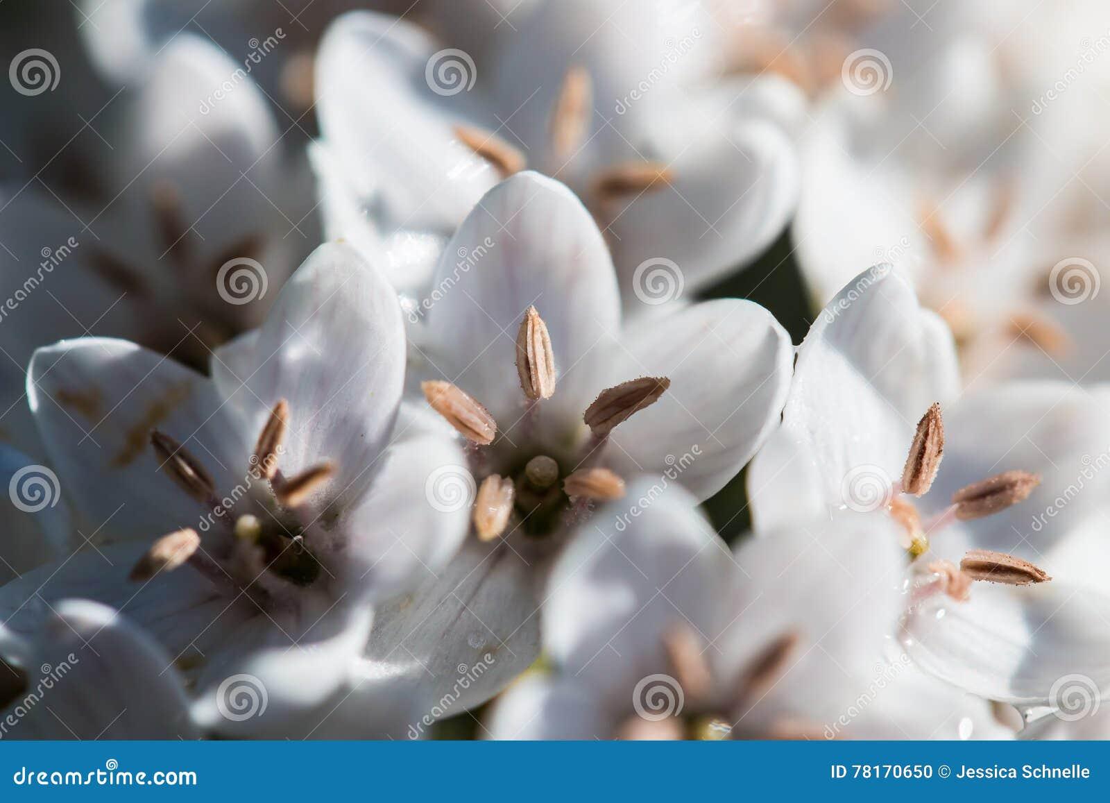 Jaskrawy Biały kwiat w Makro-
