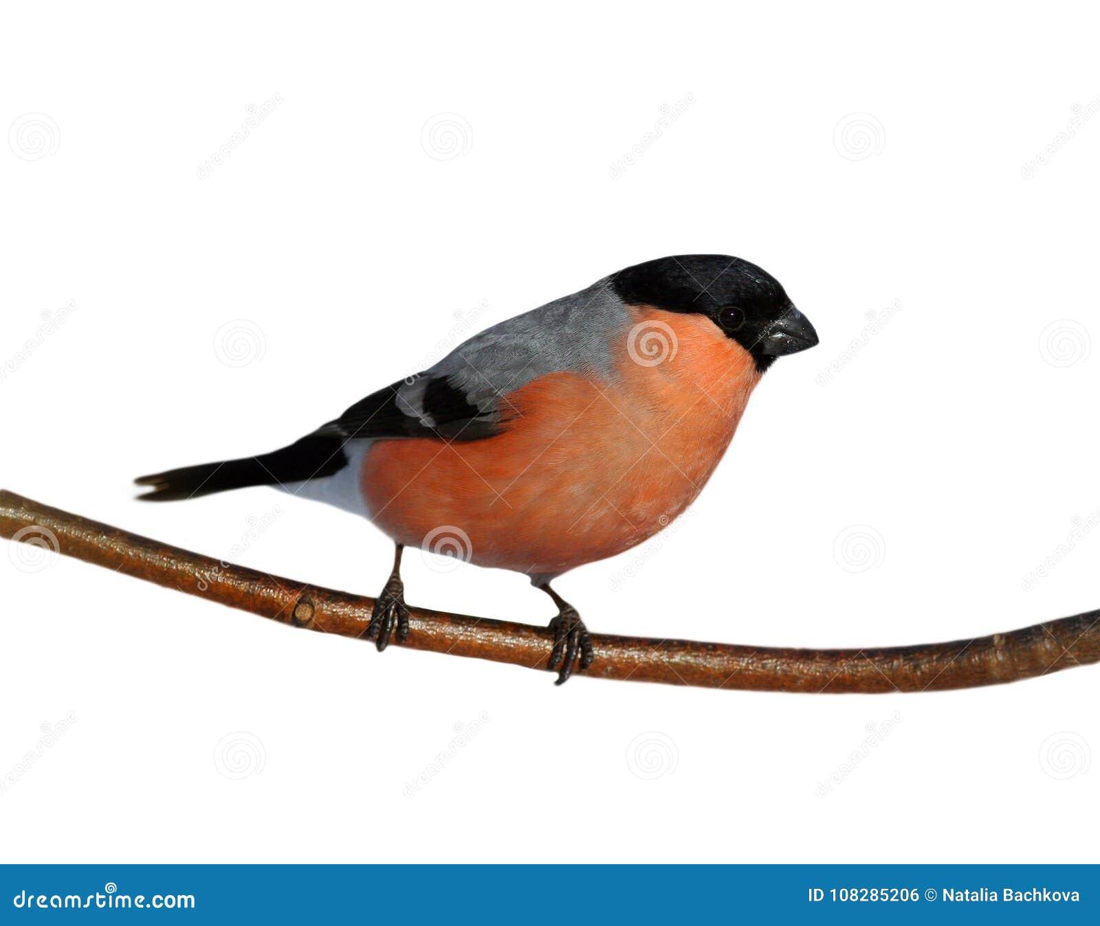 Jaskrawy Czerwony Ptak Męski Gil Na Gałąź W Lesie Dalej Zdjęcie