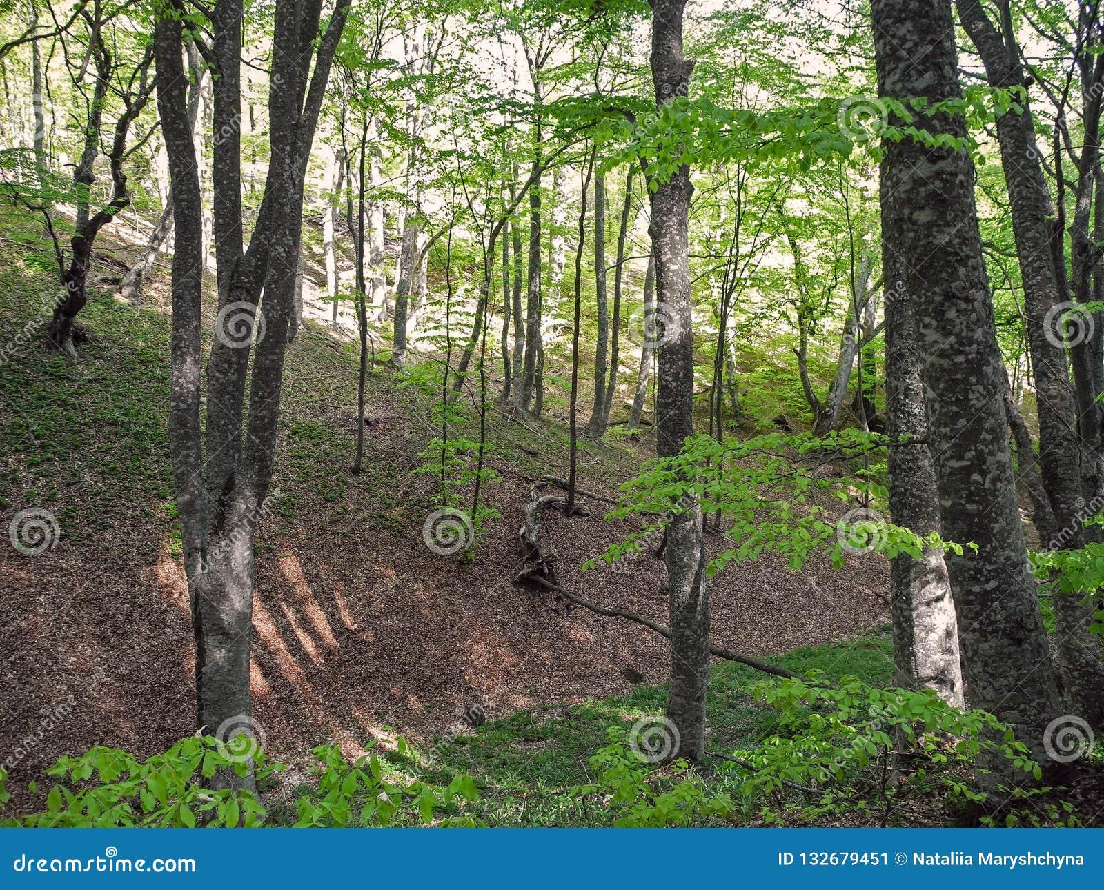 Jaskrawy wiosna las na halnym skłonie 2008 gór sosny lata crimean
