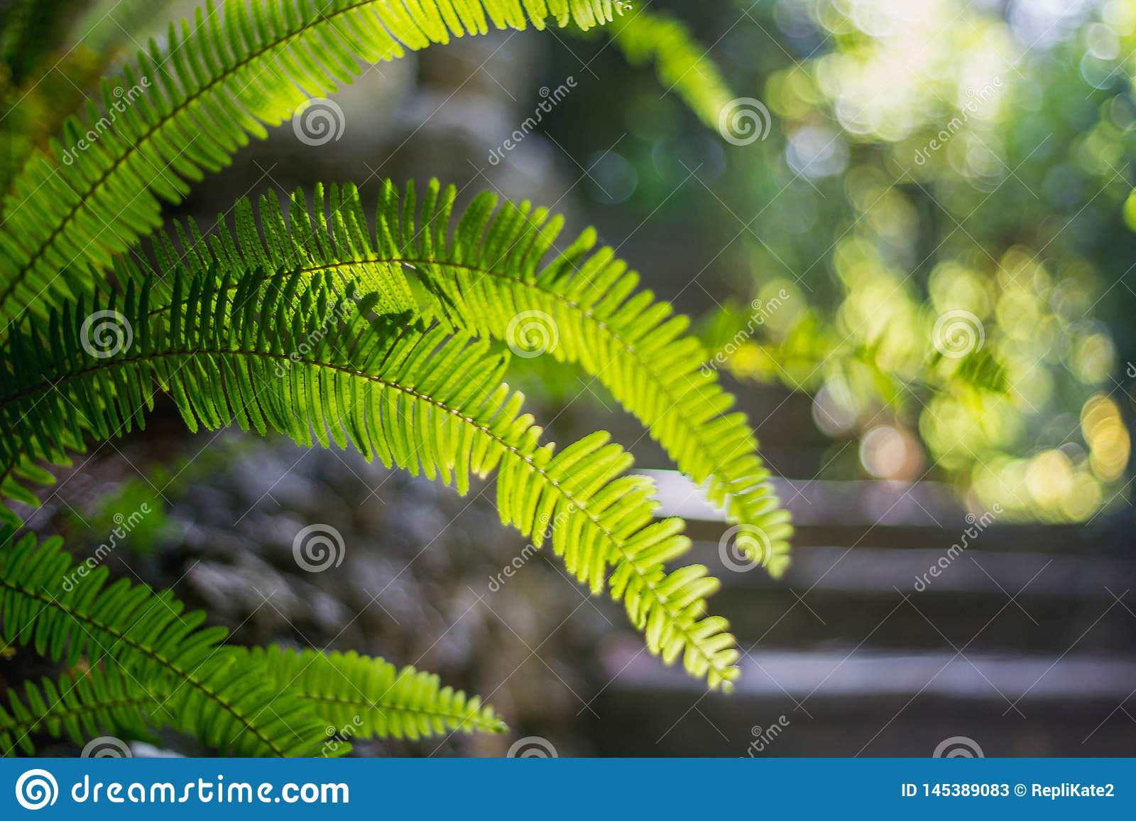 Jaskrawy - zielonego li?cia tropikalna papro? na jasnozielonym zamazanym tle zako?czenie z bokeh Pi?kny Bush w tropikalnym ogr