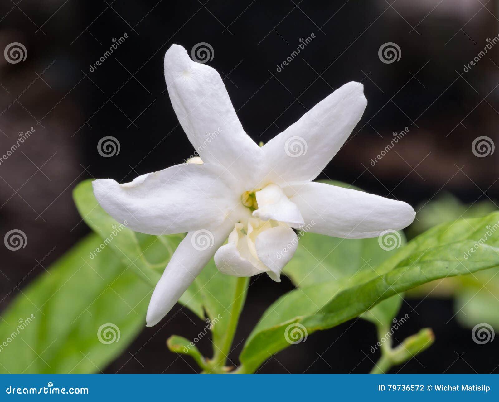 Jasmine Blooming blanco