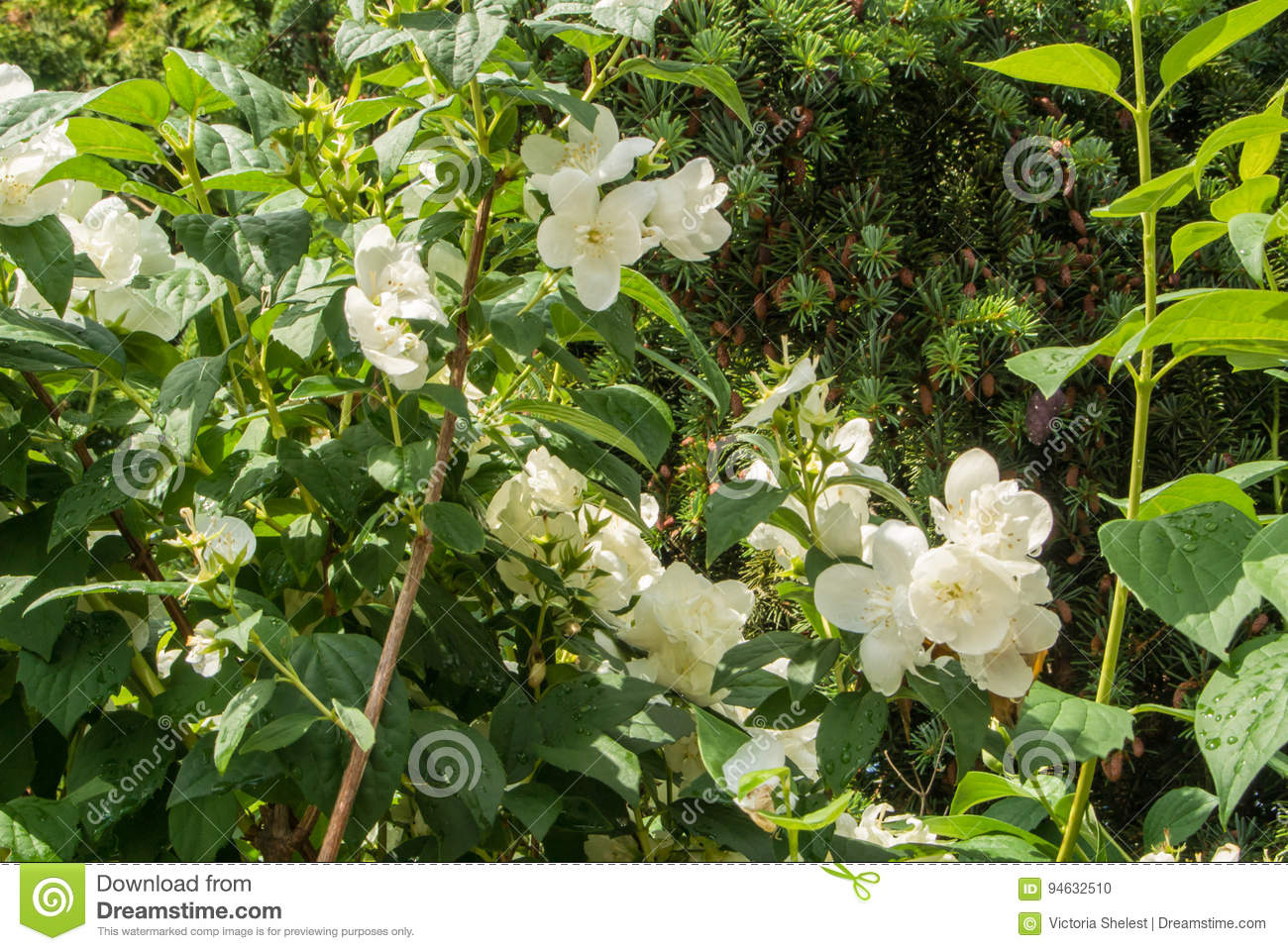 Jasmine Bush With Plenty Of White Fresh Flowers In The Garden After