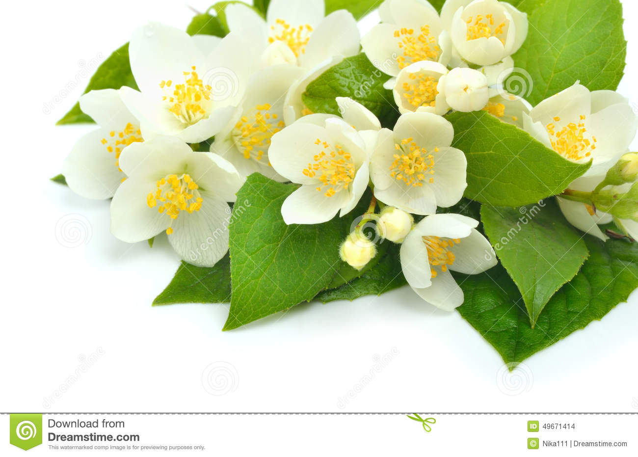 Jasmine flower bouquet isolated on white stock photo image of jasmine flower bouquet isolated on white izmirmasajfo Image collections