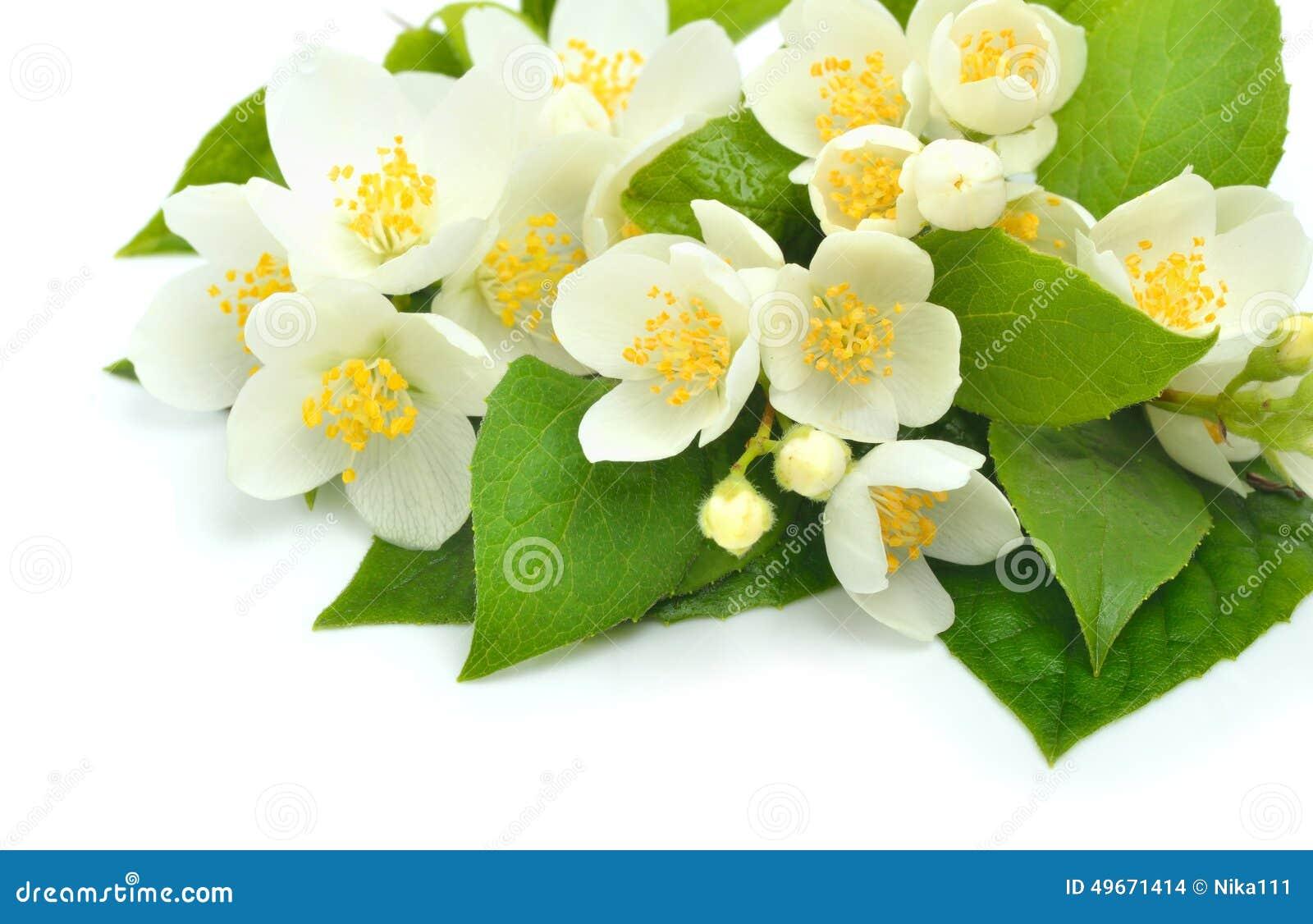 Jasmine Flower Bouquet Isolated On White Stock Photo Image Of