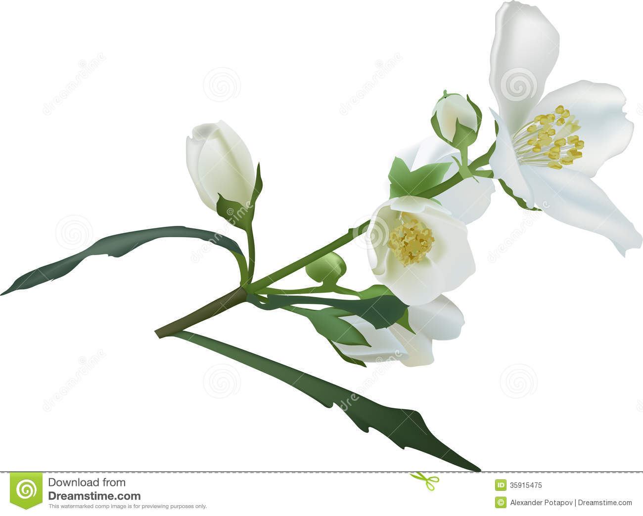 Jasmine Flower Vector Free Download Jasmine flower branch isolated