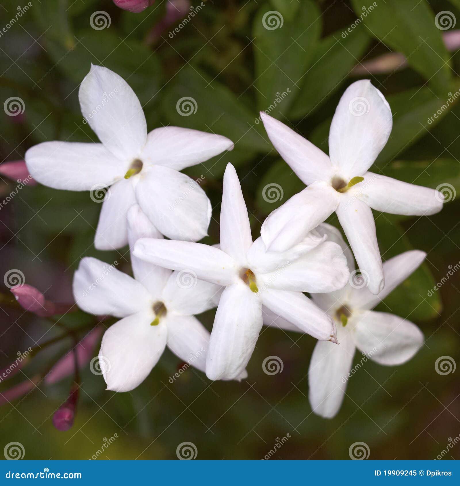 Jasmine Flower Bunch Stock Images Download 3567 Photos