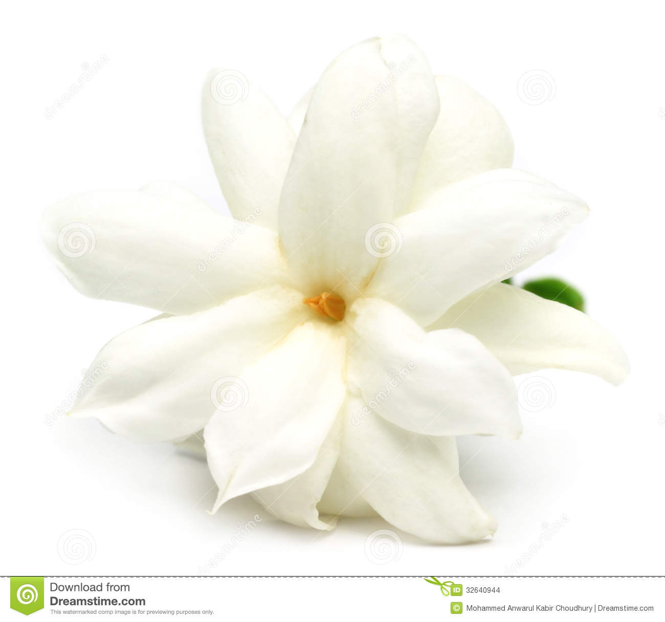 Jasmine flower stock photo image of buddhism closeup 32640944 jasmine flower izmirmasajfo