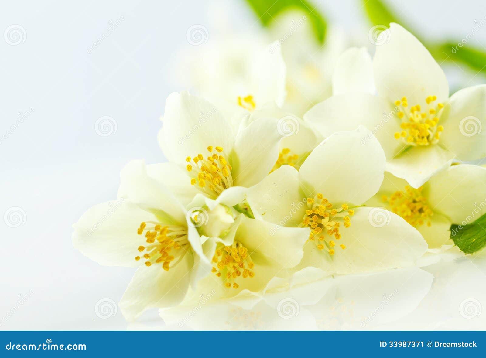 jasmine flower stock image image 33987371. Black Bedroom Furniture Sets. Home Design Ideas