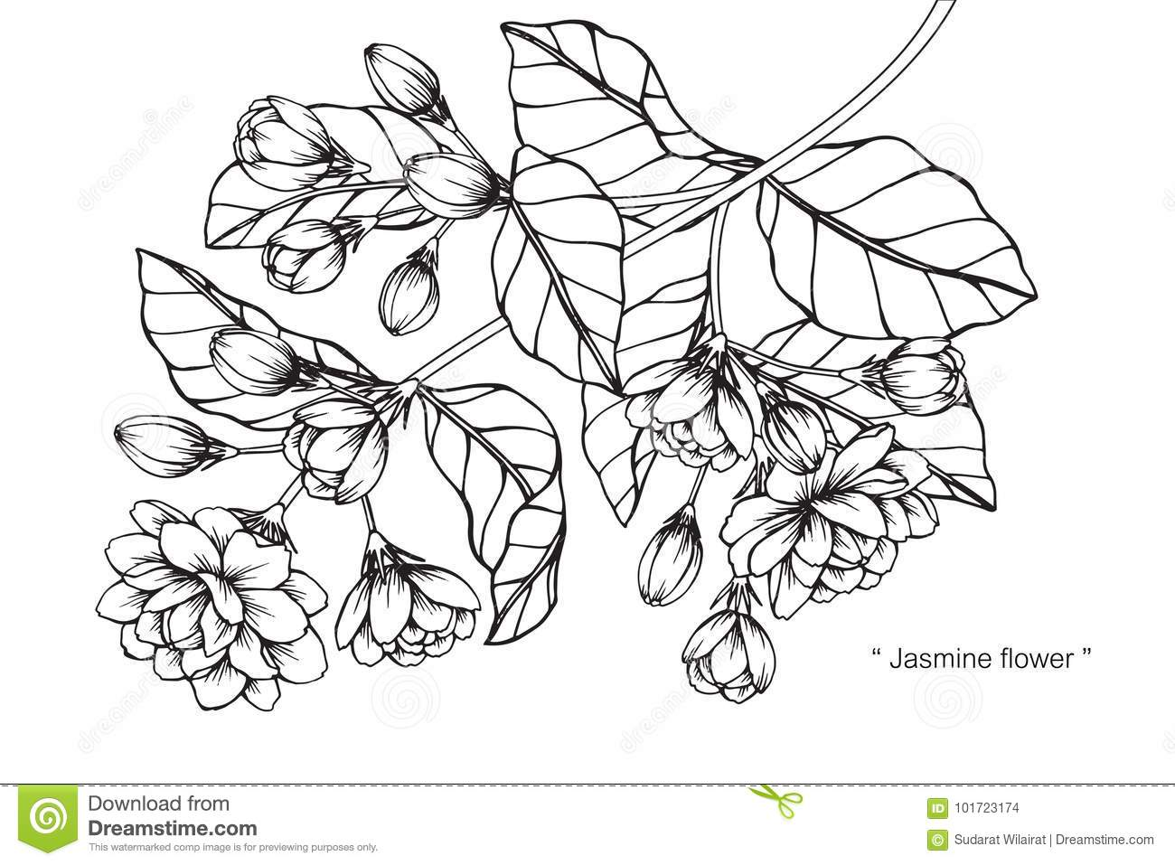 Jasmine Flower Drawing And Sketch With Line Art On White Backgrounds