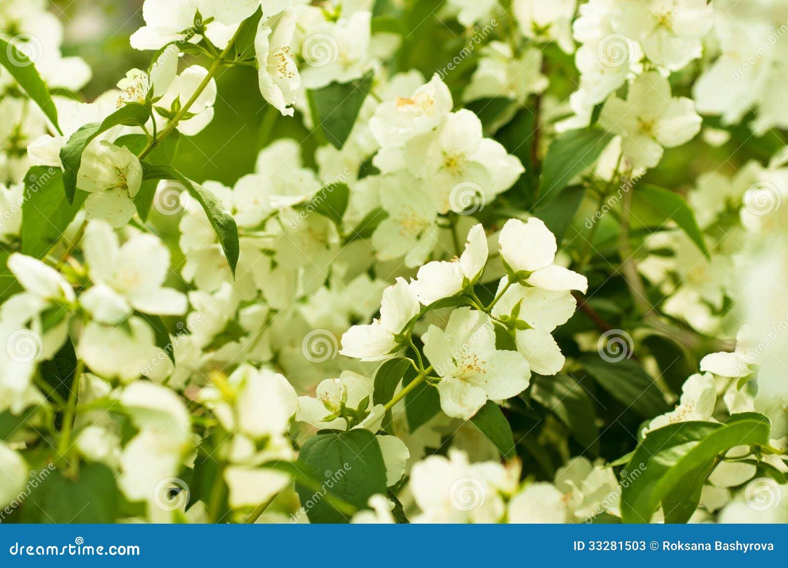 Jasmine Flower Stock Image Image Of Macro Elegance 33281503