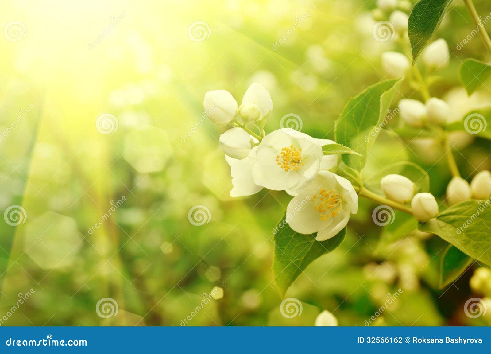 Jasmine Flower Stock Photo Image Of Ecology Beautiful 32566162