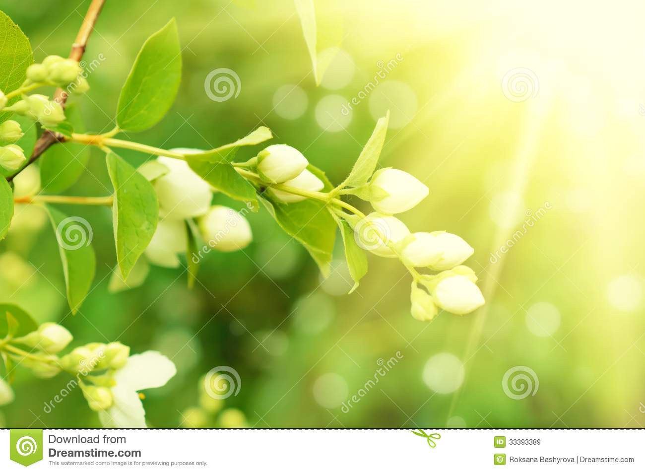 Jasmine Flower Vector Free Download Jasmine flower