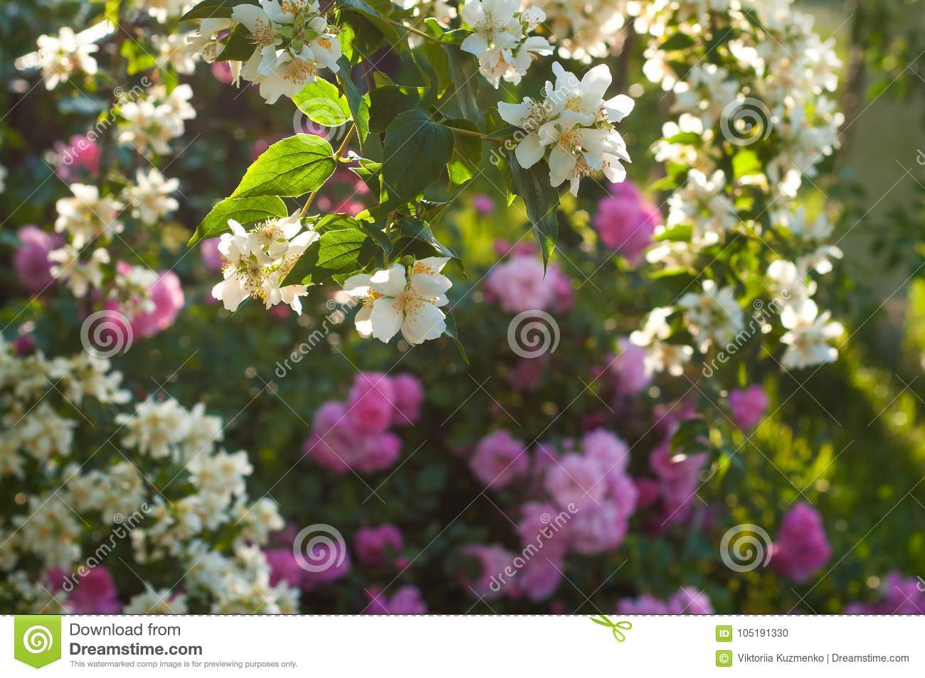Bush Of White Jasmine And A Pink Roses A Garden Arrangement Of