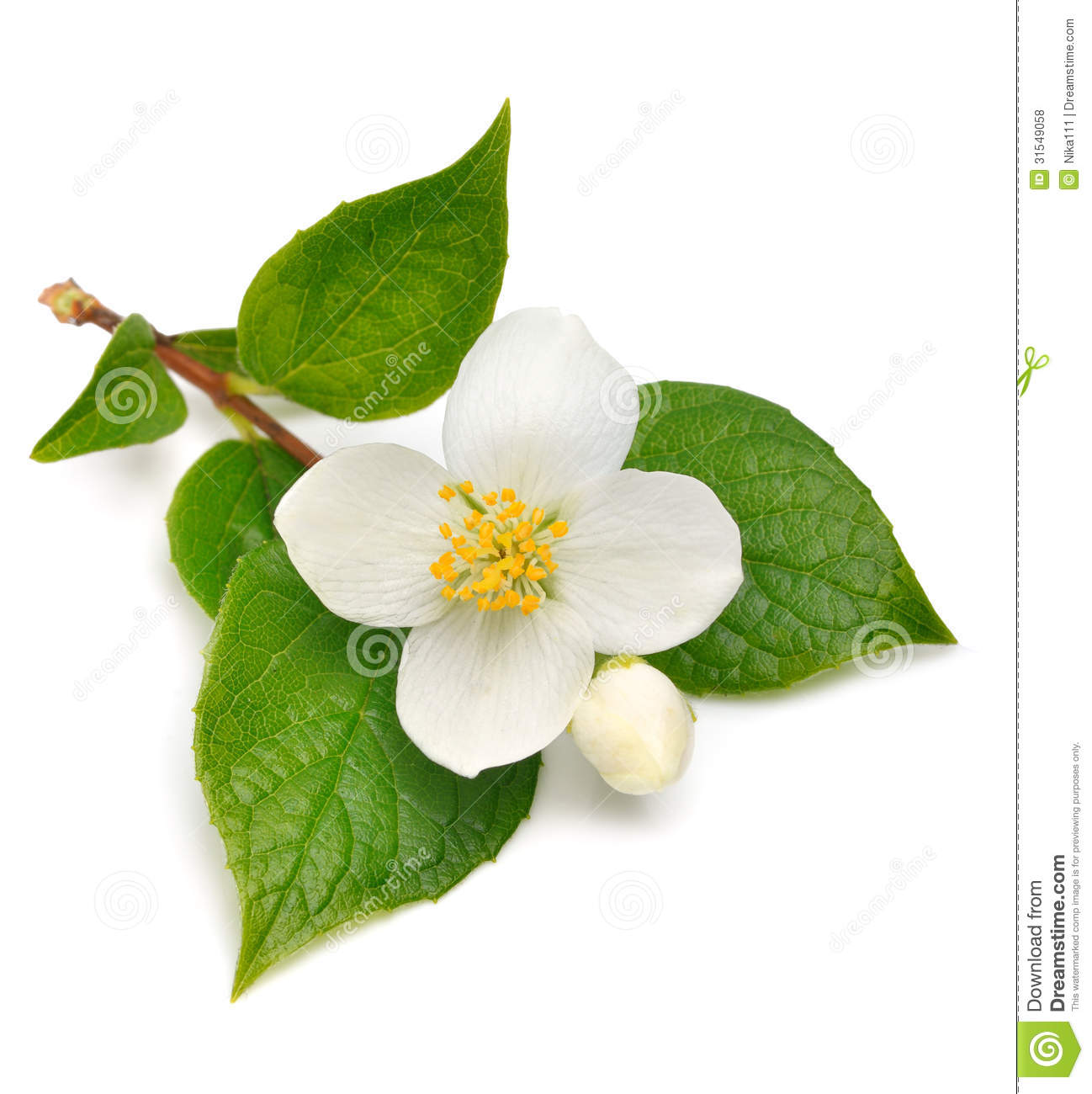 Jasmine Flower Stock Photo Image Of Background Fragrance 31549058