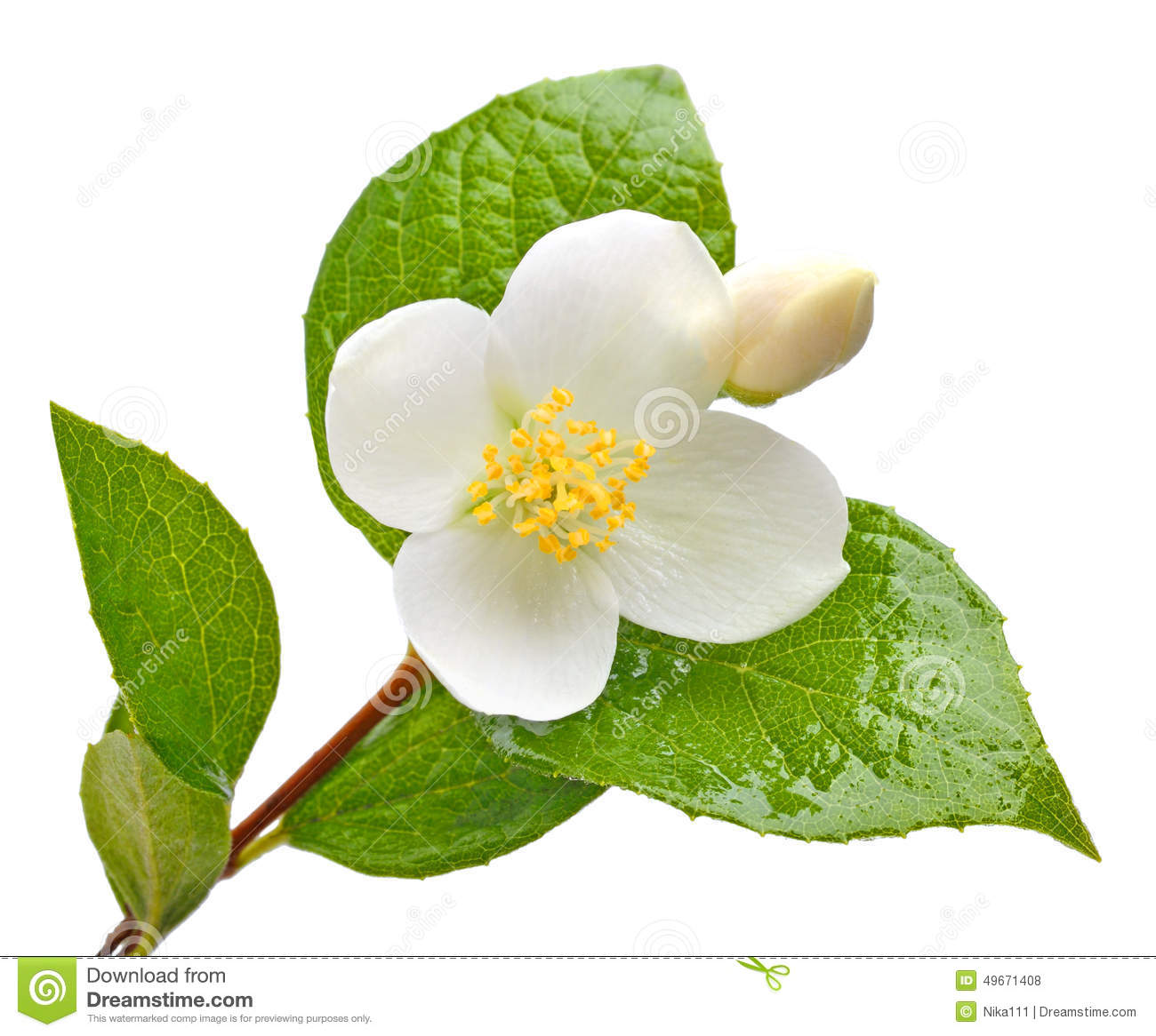 Jasmine Flower Isolated On White Stock Photo