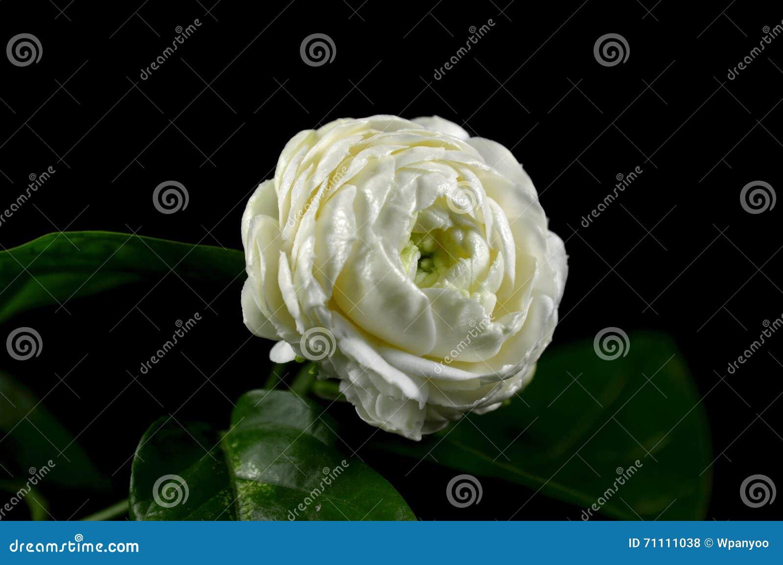 Jasmine flower stock photo image of central subtropical 71111038 jasmine flower izmirmasajfo Gallery