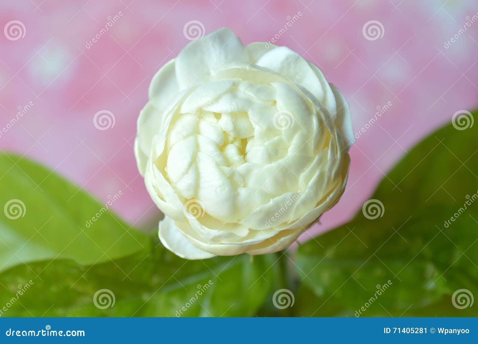 Jasmine flower stock image image of water thailand 71405281 royalty free stock photo izmirmasajfo Gallery