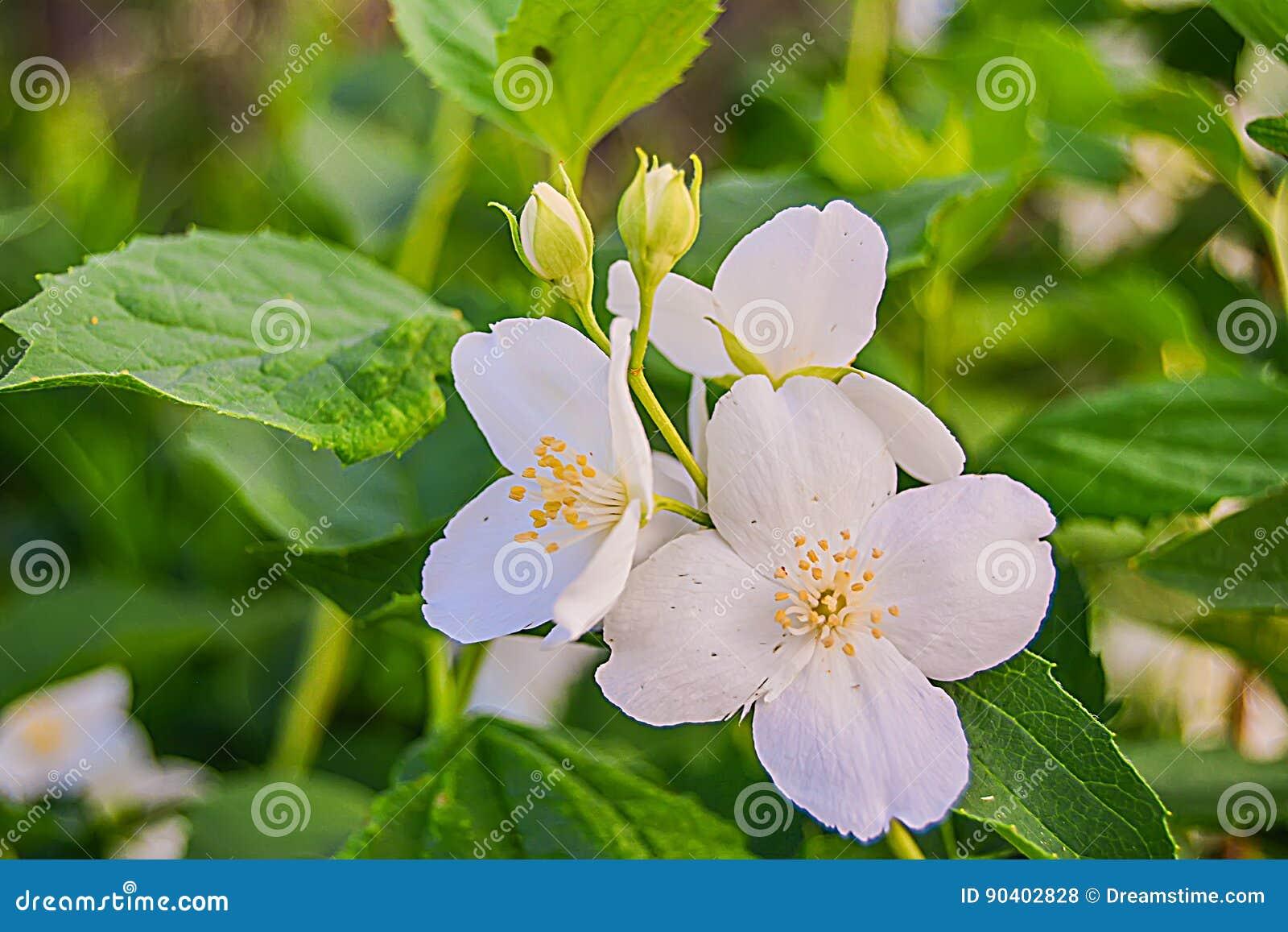 Jasmine Flower With Leaves Stock Photo Image Of Background 90402828