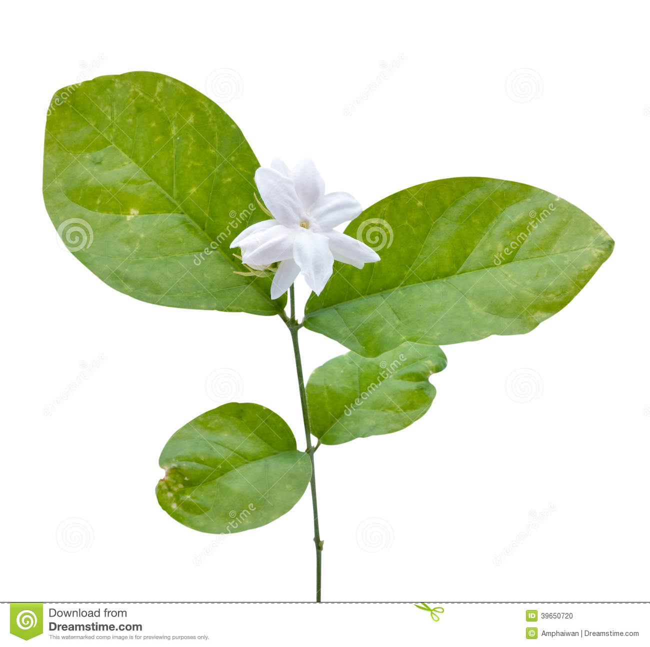 Jasmine Flower With Leaves Stock Photo Image Of Aroma 39650720