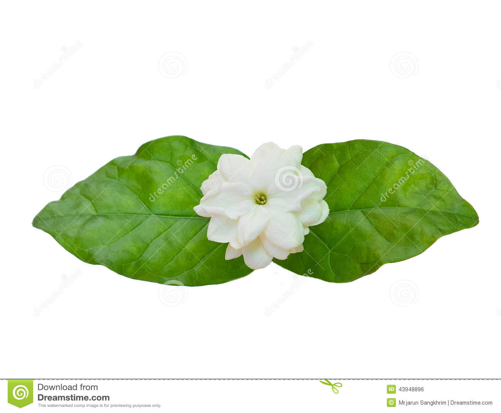 Jasmine flower with leaves stock photo image of faith 43948896 jasmine flower with leaves izmirmasajfo Gallery