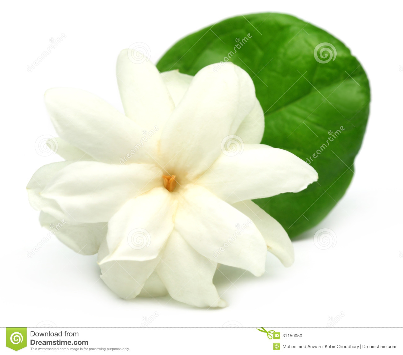 Jasmine Flower Vector Free Download Jasmine flower Stock Photo