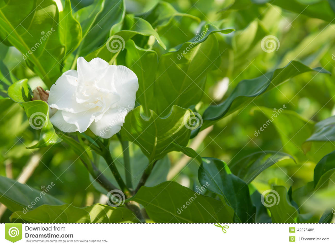 Jasmine Flower On Tree Stock Photo Image Of Gardens 42075482