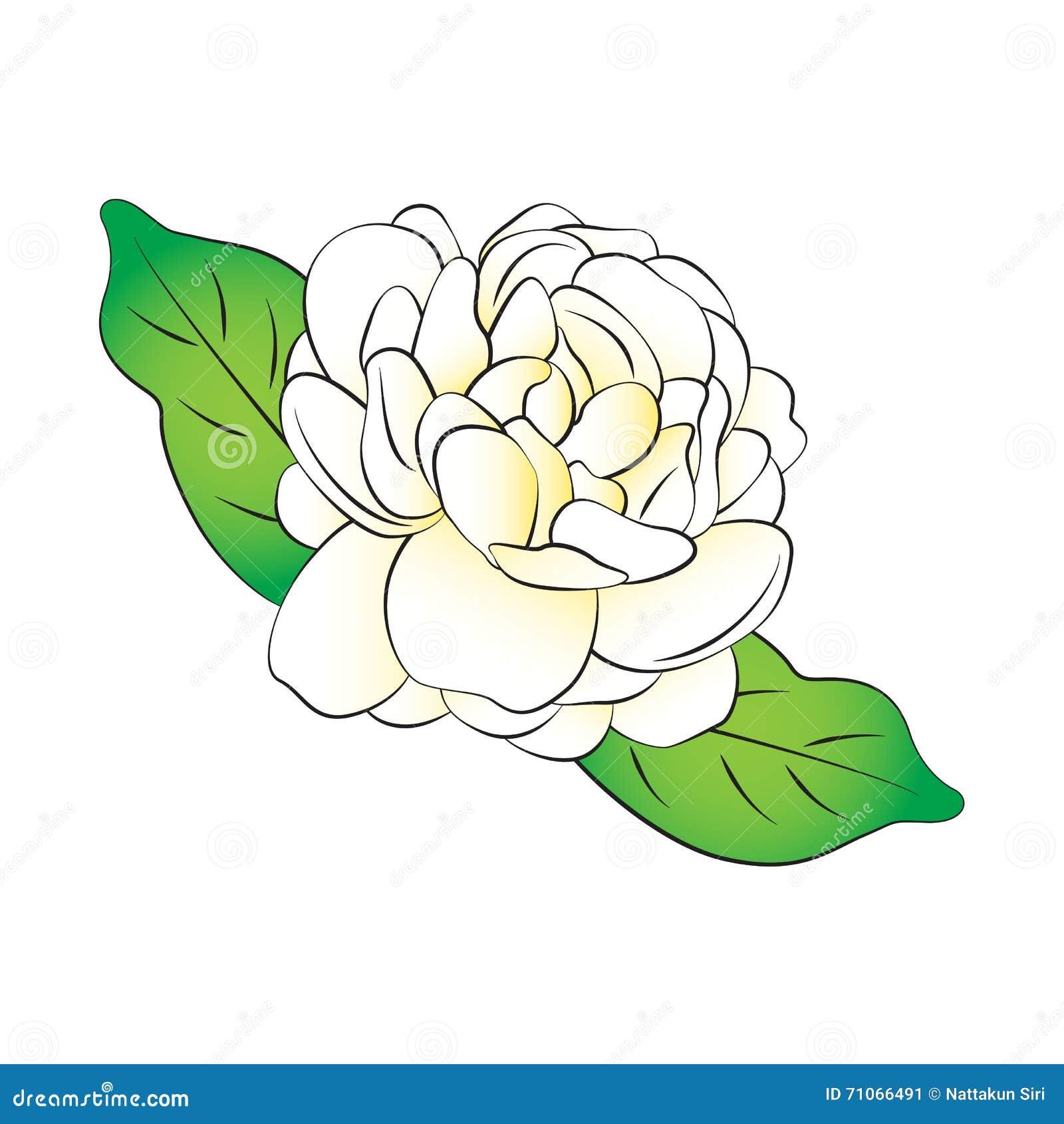 Jasmine Flower Stock Illustration Illustration Of Background 71066491