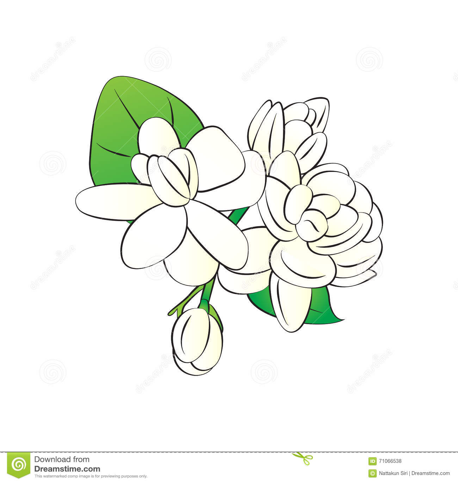Jasmine White Flower White Background Stock Illustrations 1298