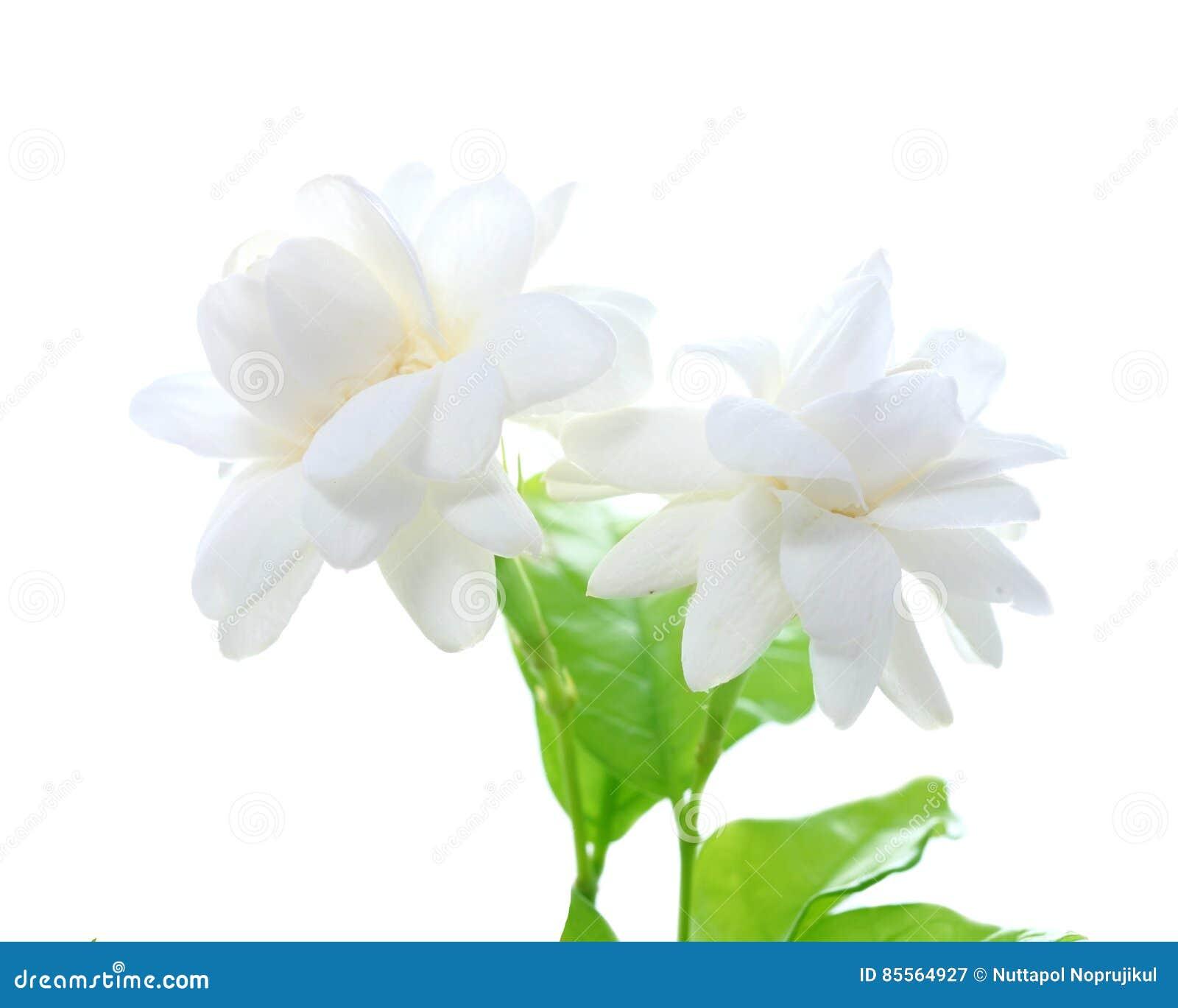 Jasmine flower on white background stock image image of gardenia royalty free stock photo izmirmasajfo Gallery