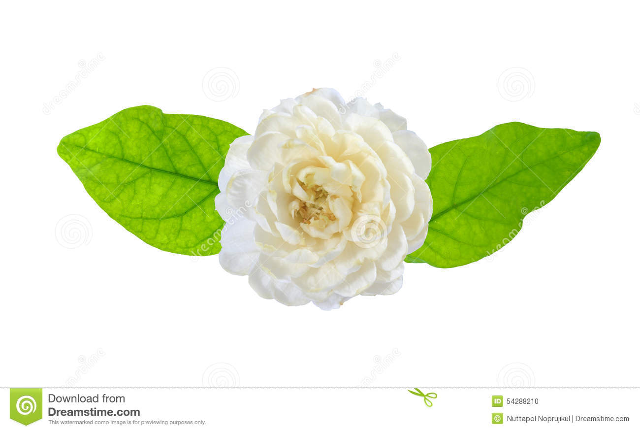 Jasmine flower on white background stock photo image 54288210 background flower flowers isolated jasmine white dhlflorist Image collections