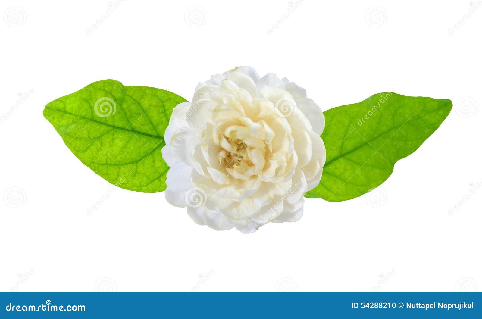 Jasmine Flower On White Background. Stock Photo - Image of buddhism ...