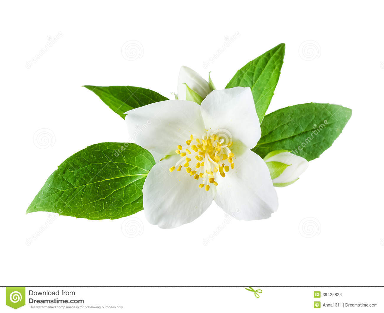 Jasmine white flower on white background stock photo 24895634 megapixl more mightylinksfo