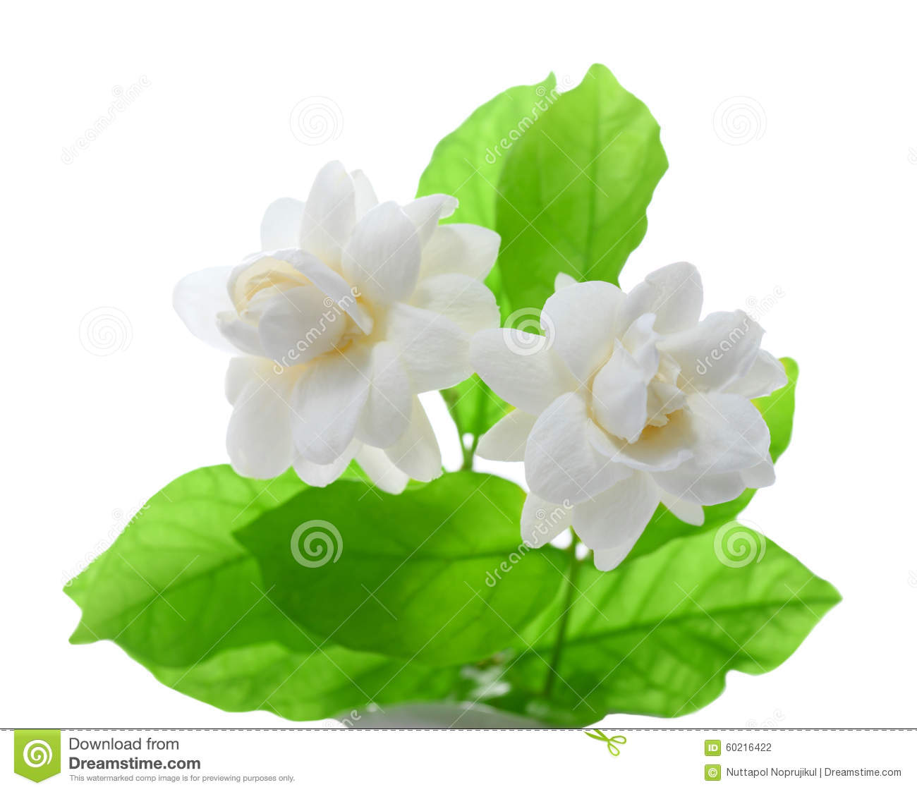 Jasmine Flower On White Background. Stock Photo
