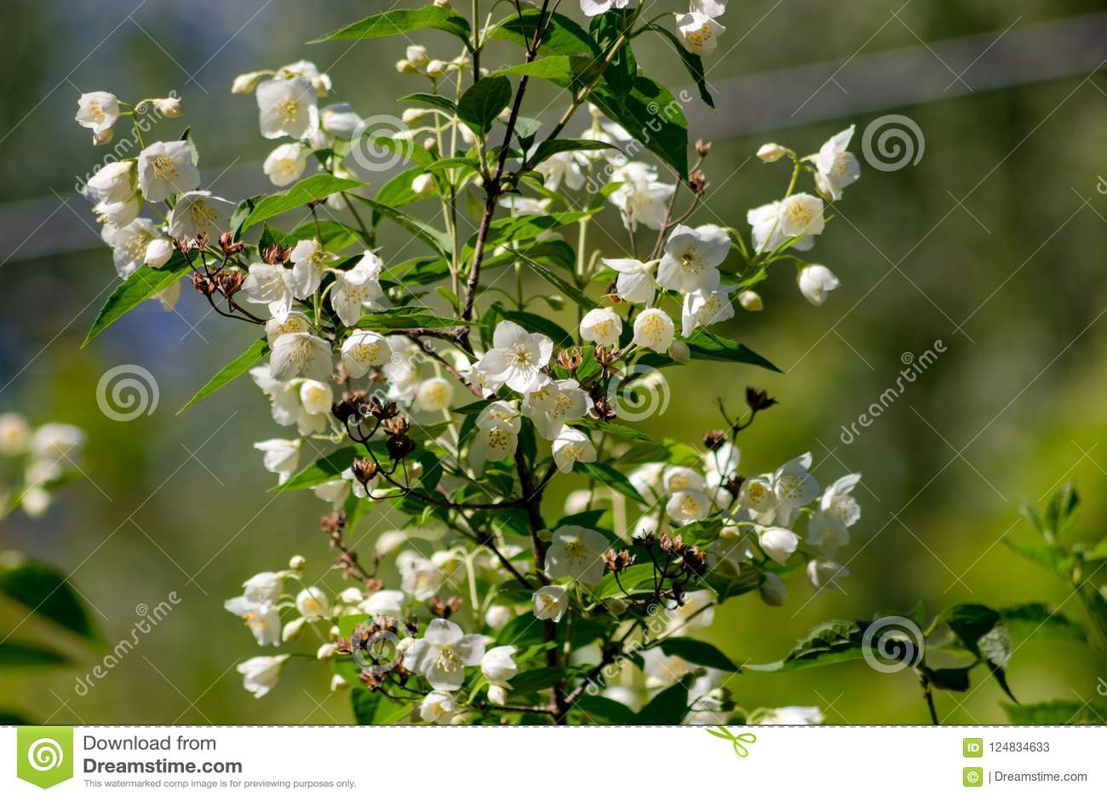 Jasmine flowering in late May