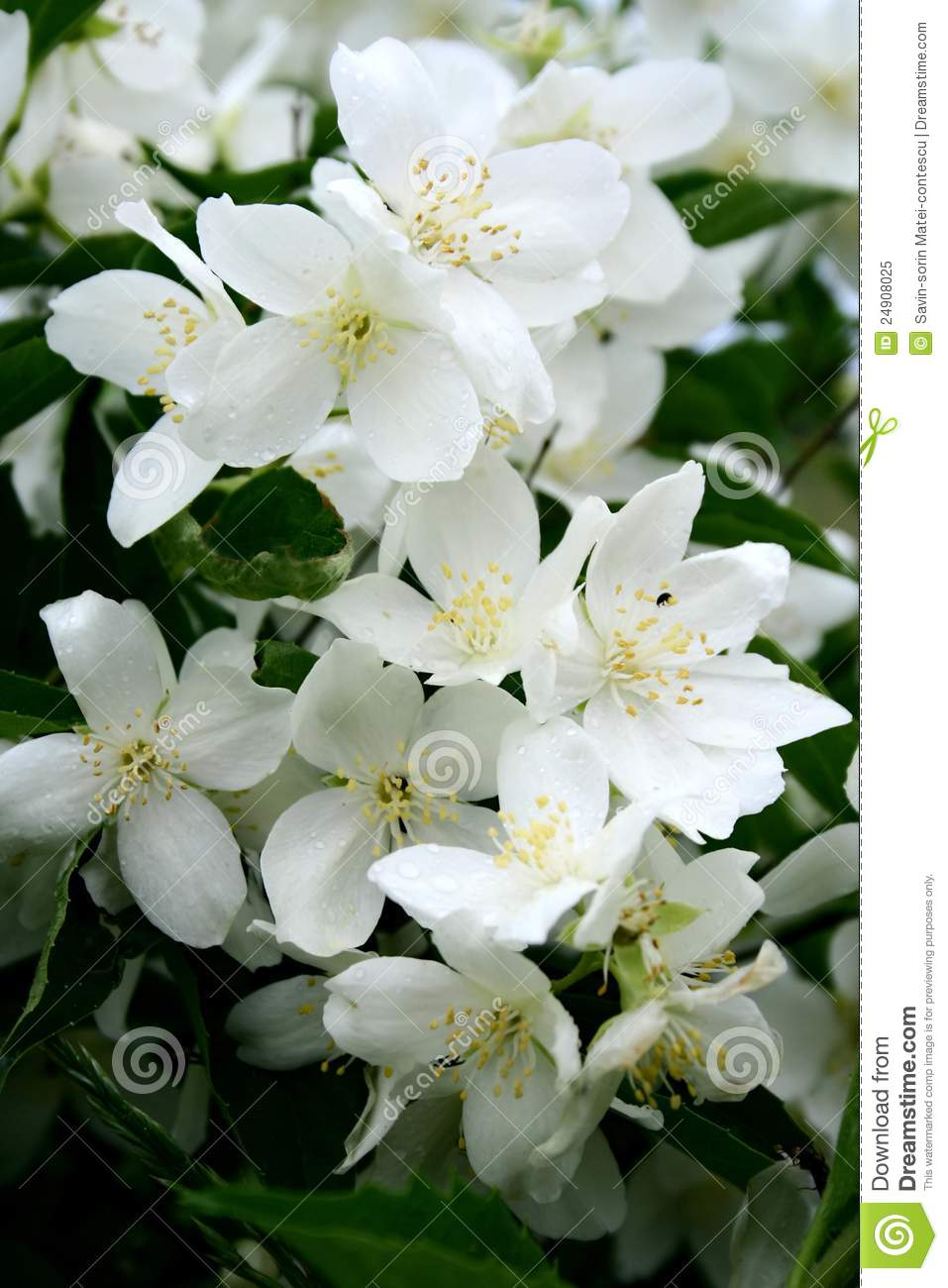 Jasmine Flowers In Bloom Stock Image Image Of White 24908025