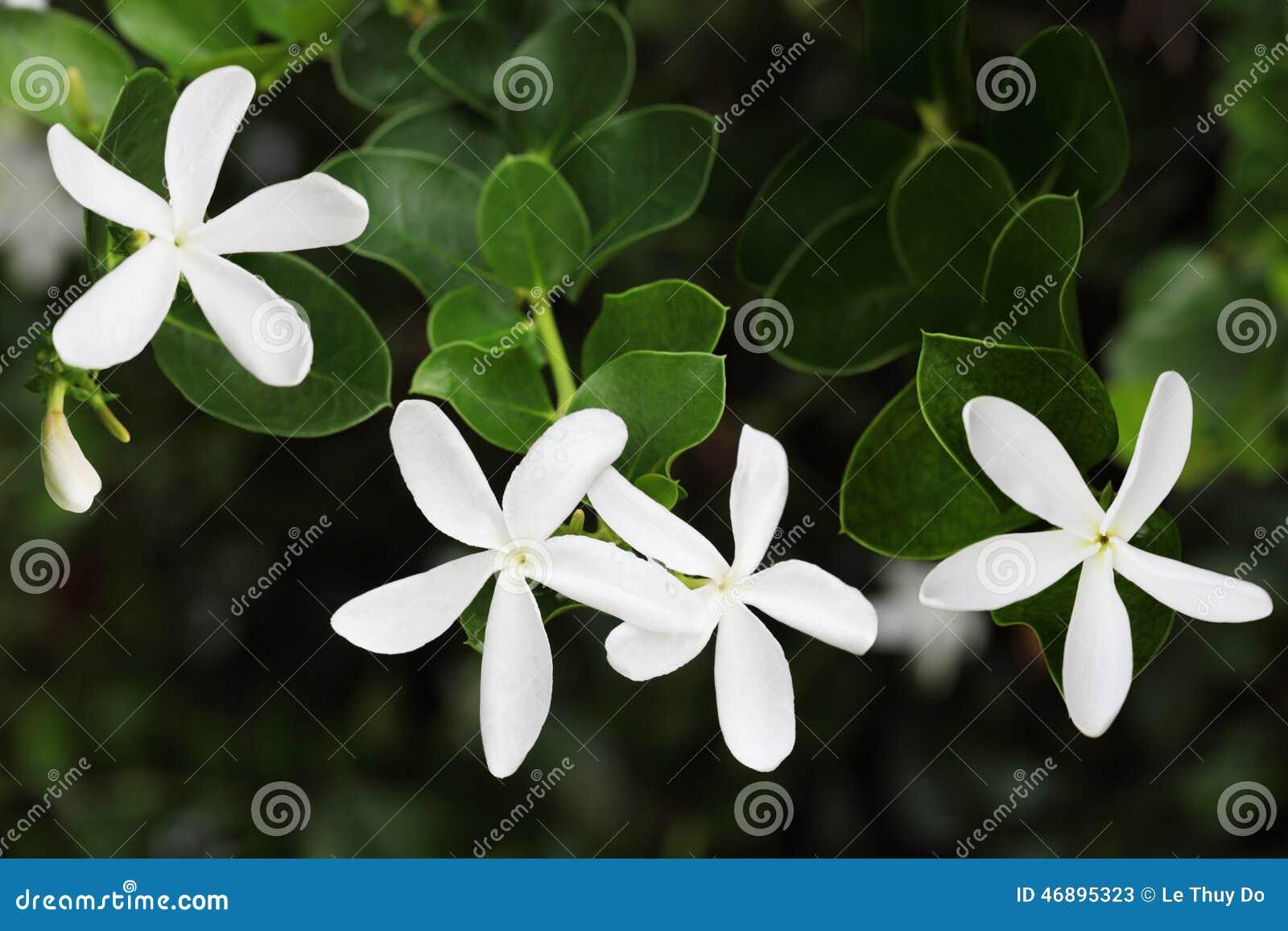 Jasmine flowers stock image image of carissa paniculata 46895323 jasmine flowers izmirmasajfo Choice Image