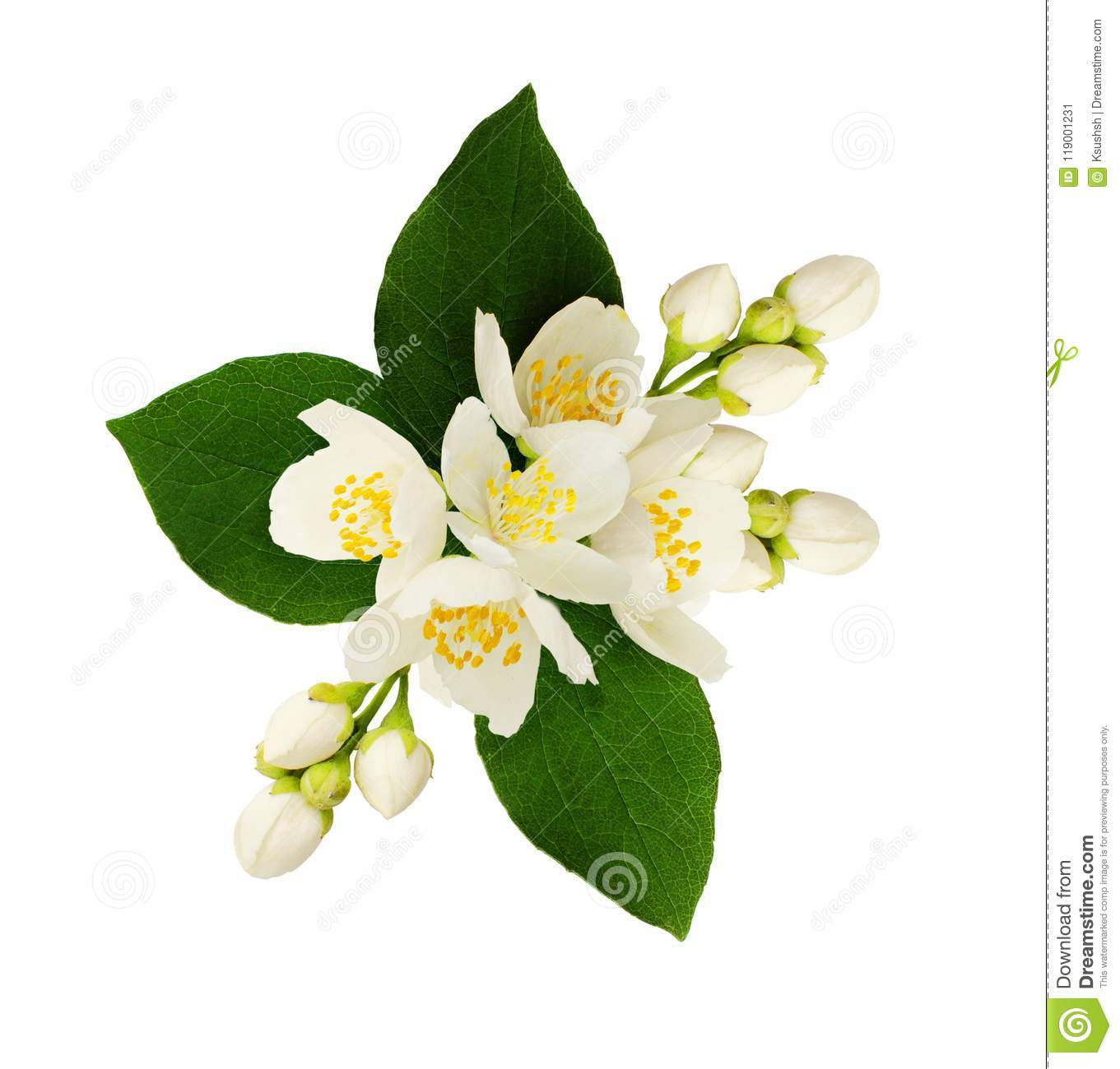 Jasmine flowers and leaves in floral arrangement stock image image download jasmine flowers and leaves in floral arrangement stock image image of blossom detail izmirmasajfo