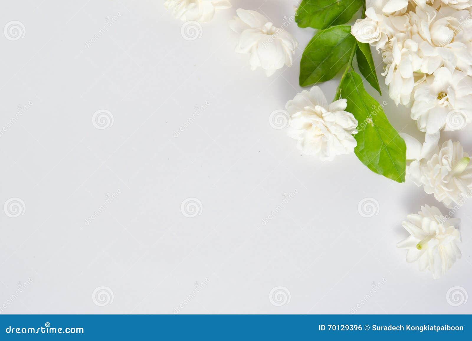 Jasmine Flowers On White Background Stock Photo Image Of Color