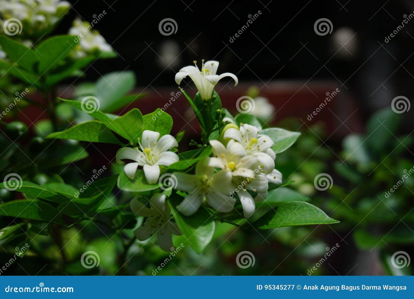 Jasmine In The Garden Stock Image Image Of Camera Passed 95345277