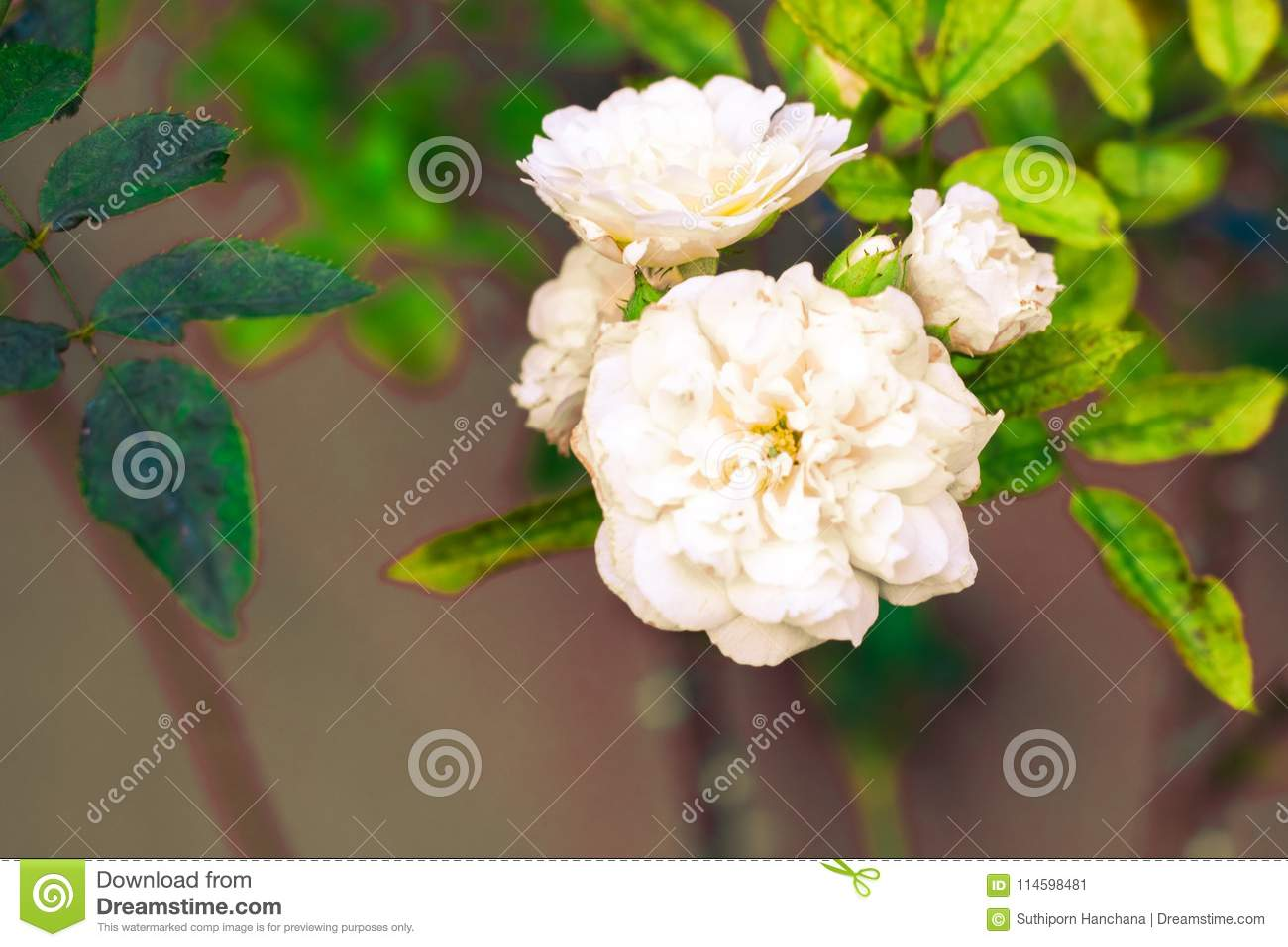 Jasmine isolate in spring summer after raining in the morning, t