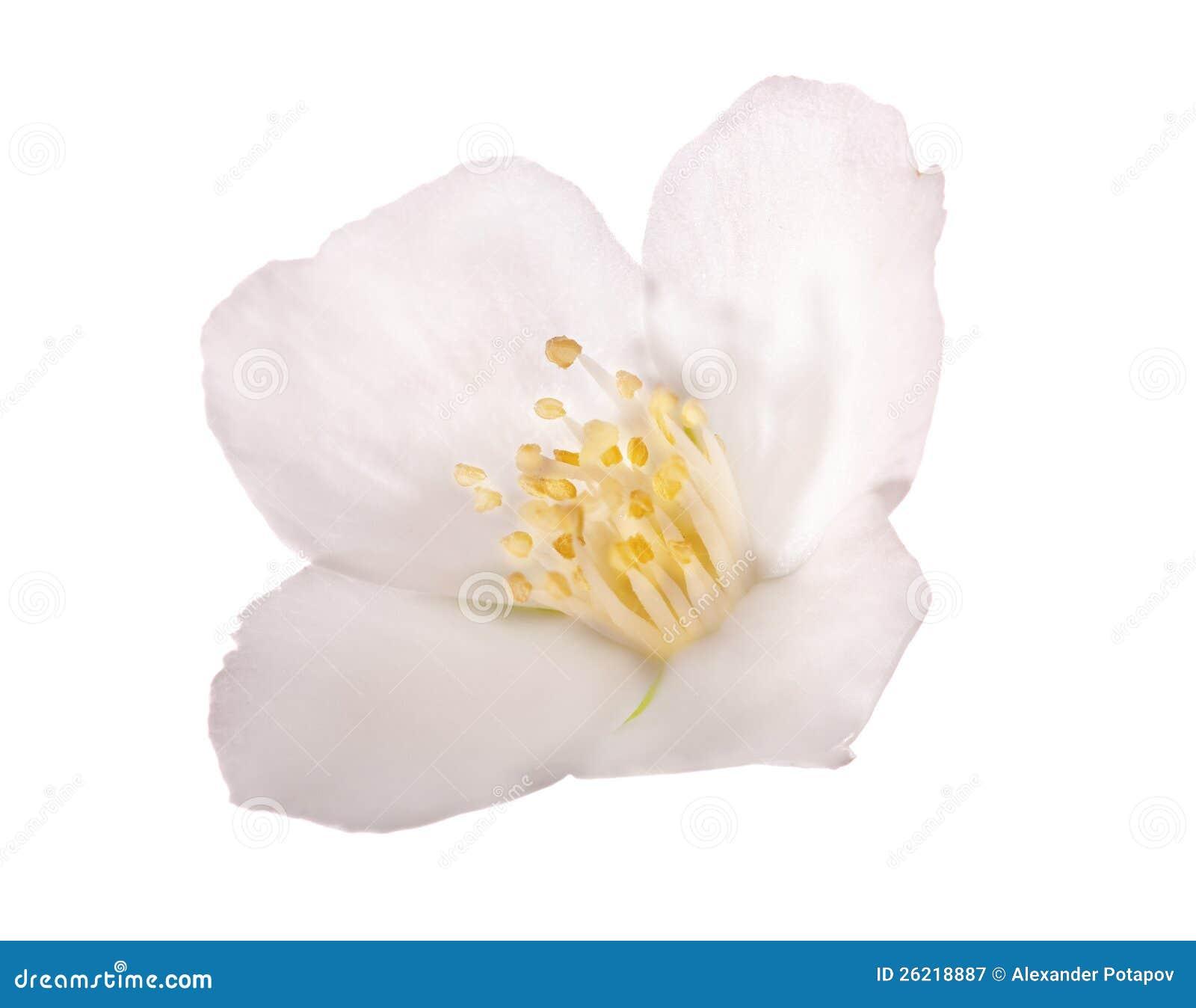 Jasmine Isolated On White Single Flower Stock Image Image Of Close
