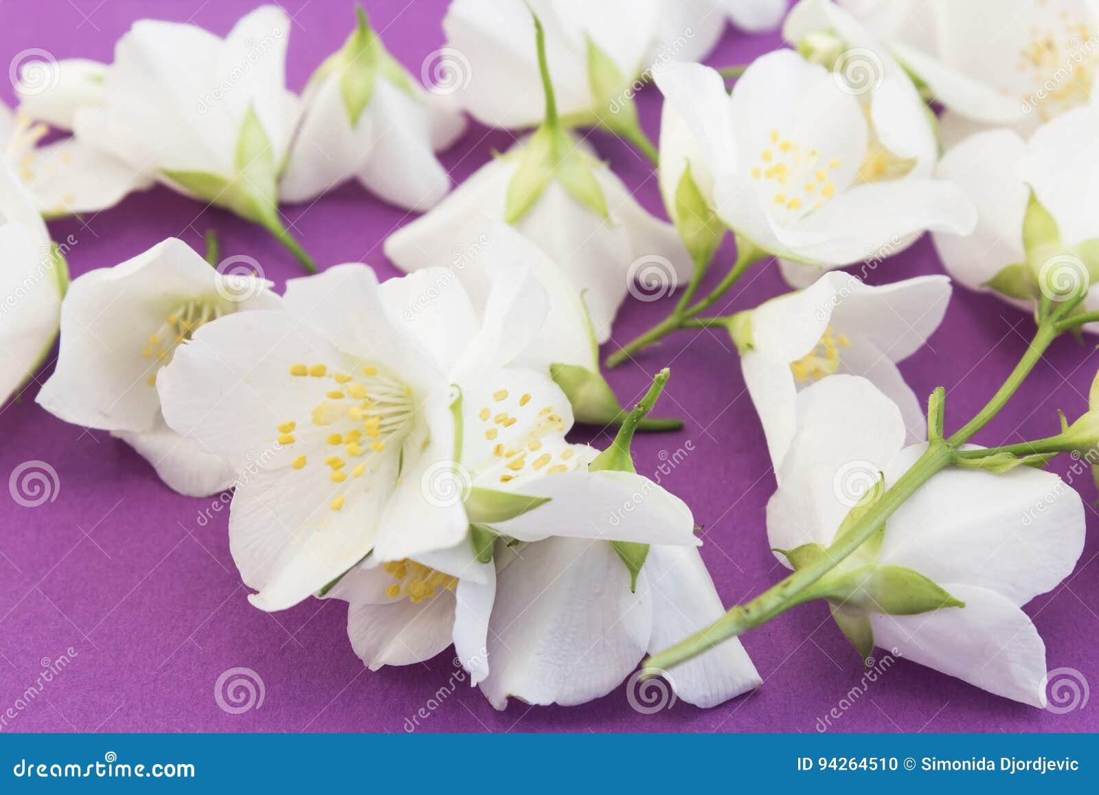 Jasmine on a purple background stock photo image of closeup gift jasmine flowers on a purple background izmirmasajfo
