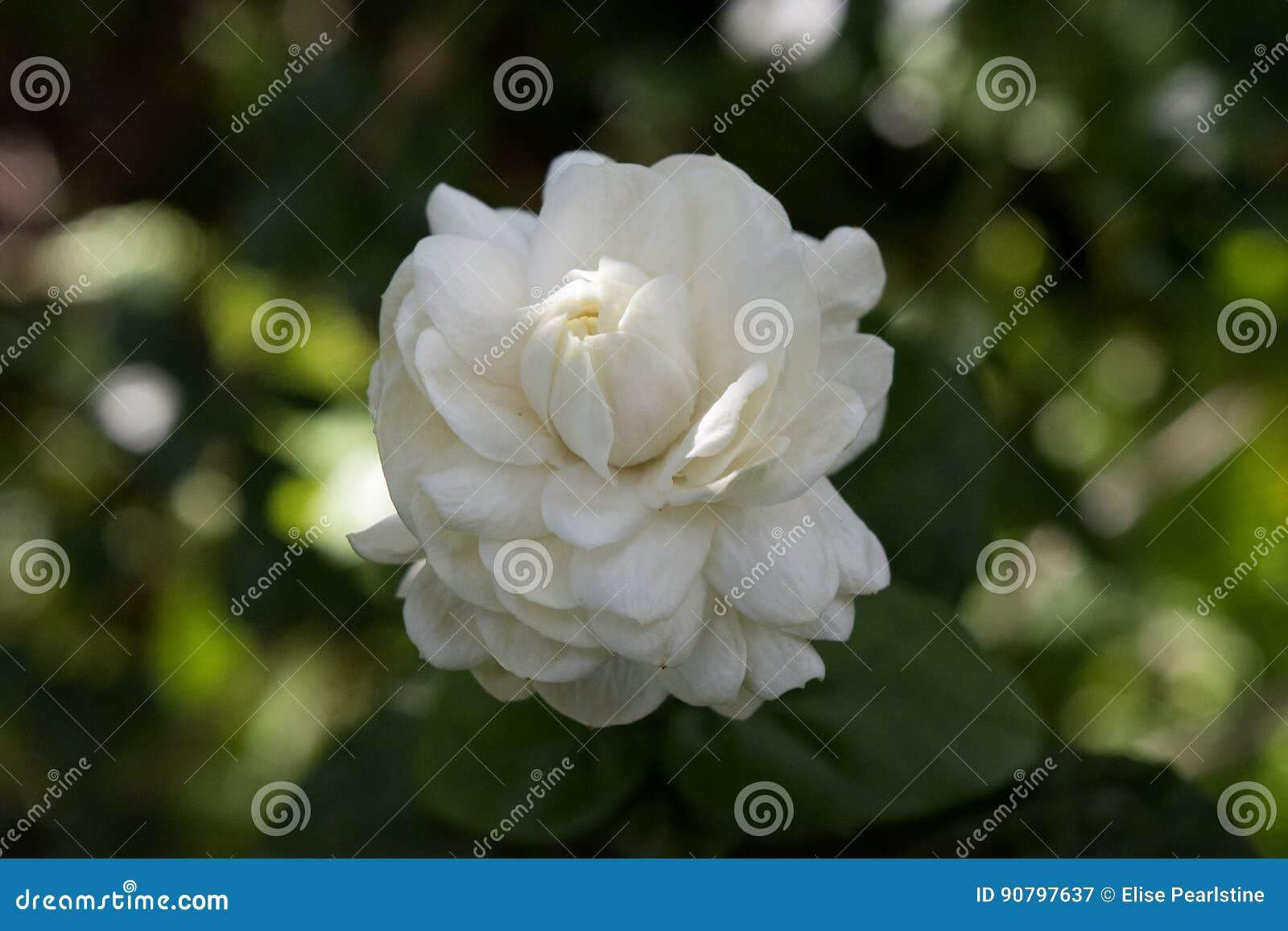 Double Jasmine Flower Images Flower Wallpaper Hd