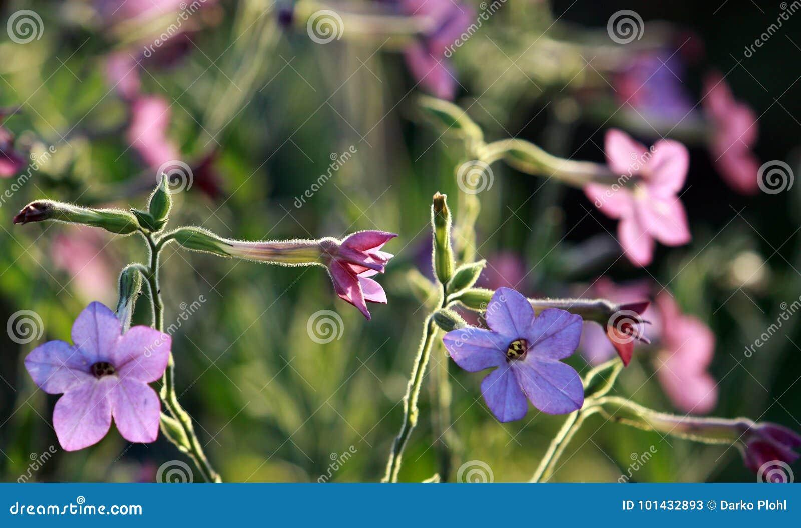 Jasmine tobacco pink and blue flowers stock image image of autumn jasmine tobacco pink and blue flowers izmirmasajfo