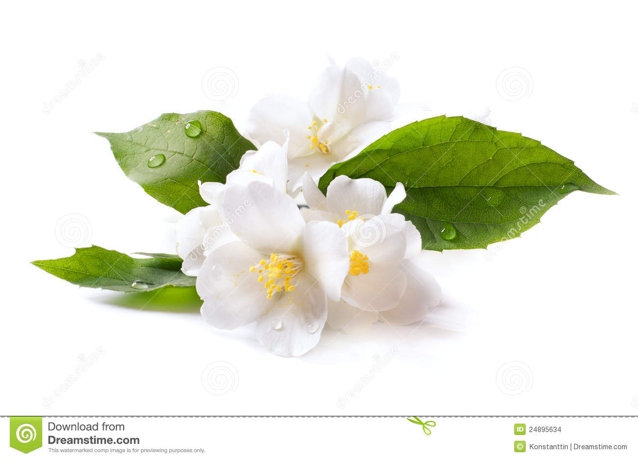 Jasmine White Flower On White Background Stock Photo Image Of Leaf